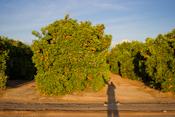 Orange Grove Images